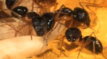 Carpenter Ants (Camponotus Sp.) In Nest Large Soldiers And Small Workers Care For And Guard And Move Pupa In Cocoons