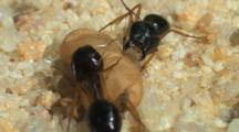 Two Carpenter Ants (Camponotus Sp.) In Nest, With Pupa In Cocoon, One Opens Mandibles In Threat Display