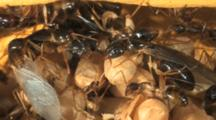 Carpenter Ants (Camponotus Sp.) In Nest, Winged Reproductives, Large Soldiers And Small Workers With Pupa In Cocoons