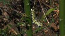 Two Monarch Butterfly (Danaus Plexippus) Caterpillars On Milkweed Plant Feeding On Leaves