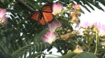 Monarch Butterflies (Danaus Plexippus) Drinking Nectar From Flowers On Australian Eucalyptus Gum Tree