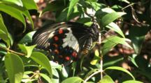 Orchard Swallowtail Butterfly (Papilio Aegeus) Male Newly Hatched Hangs On Branch As Wings Harden