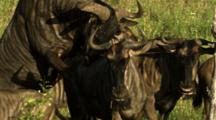 Blue Wildebeest (Connochaetes Taurinus) Bull Mating With Cows Kruger National Park South Africa