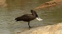Hamerkop (Scopus Umbretta), Also Known As Hammerkop,Hammerkopf, Hammerhead, Hammerhead Stork, Umbrette, Umber Bird, Tufted Umber, Or Anvilhead, Medium-Sized Wading Bird, Eating A Fish On River Bank Kruger National Park