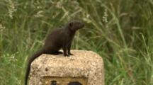 Common Dwarf Mongoose (Helogale Parvula) On Roadside Bollard Kruger National Park