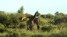 Giraffe (Giraffa Camelopardalis) Necking In Mating Ritual Kruger National Park