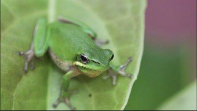 Australian green tree frog,simply green tree frog in Australia,White's tree frog,or dumpy tree frog (Litoria caerulea) on leaf