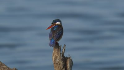 Malachite Kingfisher (Alcedo Cristata) Perched And Flying At A River
