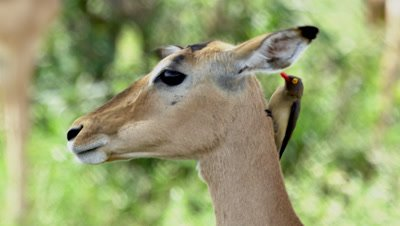 Impala (Aepyceros Melampus) Being Groomed By Red-Billed Oxpecker Birds