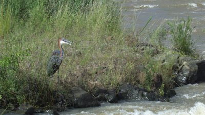 Goliath heron (Ardea goliath) hunting on river bank Kruger National Park