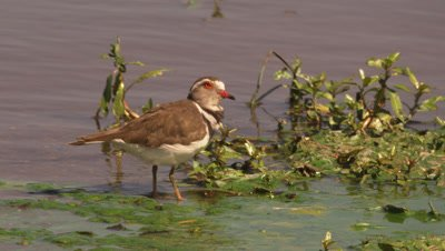 Three-banded plover (Charadrius tricollaris) preening and wading in a river
