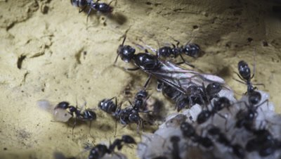 Argentine Ant (Linepithema Humile,Formerly Iridomyrmex Humilis) Workers Attending winged female queen reproductives ready for nuptial flight In Underground Nest,Licking,Grooming Them