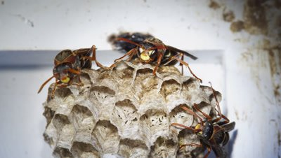paper wasp nest polistes species eggs adults