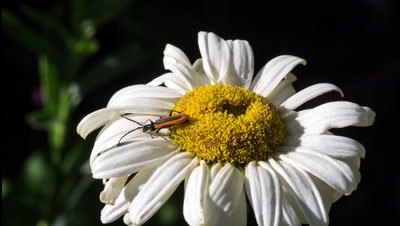 Net winged beetle (Family Lycidae in the beetle order Coleoptera) on daisy flower Australia