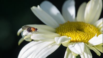 Fruit fly (family Drosophilidae) rubbing its legs to clean them on daisy flower