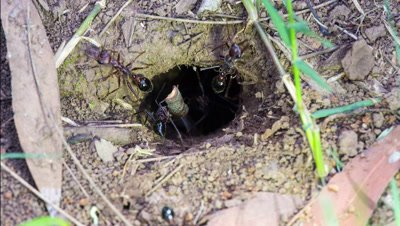 Australian bullants (also called bull ant also bulldog ant) (genus Myrmecia) at nest entrance moving twig
