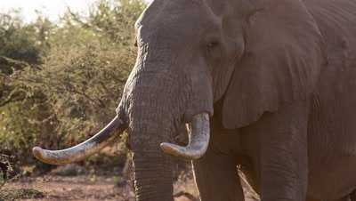 African elephant bull with huge tusks faces camera Kruger National Park South Africa