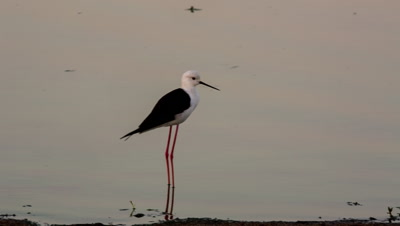 Black-winged stilt, common stilt, or pied stilt (Himantopus himantopus) in waterhole Kruger National Park South Africa