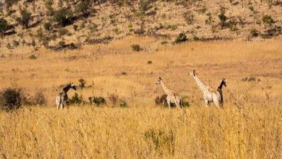 Group of giraffe (Giraffa camelopardalis giraffa) grassland veldt Pilanesberg Game Park South Africa