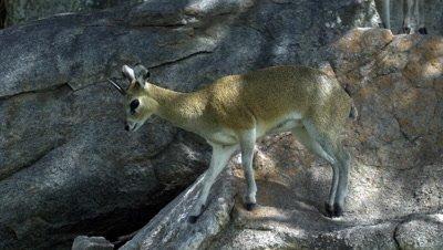 Klipspringer (Oreotragus Oreotragus) On Rock slomo Kruger National Park