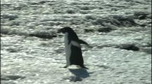 Antarctica, Single Penguin Walks Across Ice, Reveals Group