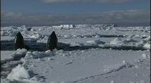 Antarctica Ice And Orcas, Spy Hop, Person Touching Whales
