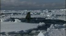Antarctica Ice And Orcas, Spy Hop