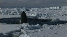 Antarctica Ice And Orcas In Small Hole In Ice, Spy Hop