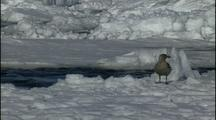 Antarctica Ice, Skua Stands Near Water, Flies Away