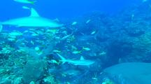 Reef Shark Joins Others At Bait On Reef