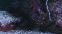 Sea Urchins, Diadema