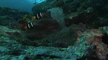 Coral Reef Scenic, Focus On Pair Of Anemonefish On Carpet Anemone