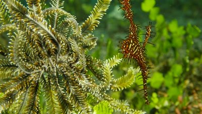 harlequin ghost pipefish camouflaged among arms of crinoid or feather star,Papua New Guinea