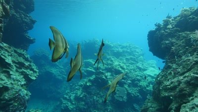 longfin batfish in coral crevice,Papua New Guinea