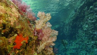 soft corals and longfin batfish in coral crevice,Papua New Guinea