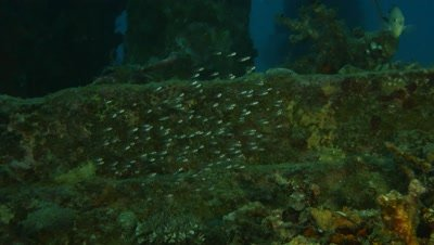 Spiny chromis guards young fry on shipwreck,Papua New Guinea
