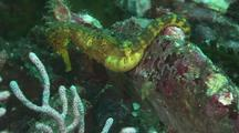 Tigertail Seahorse, Myanmar
