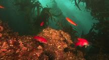 Kelp Forest Scenic, Fish Gather On Rocky Reef