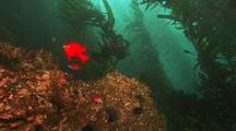 Garibaldi Protects Nest On Rocky Reef, Kelp Behind