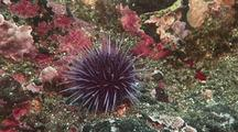 Purple Sea Urchin Crawls Across Rock