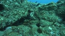 Lobster In Hole In Rocky Reef