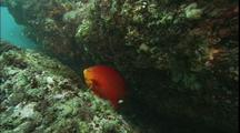 Garibaldi Guards Nest On Rocky Reef