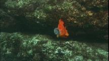 Garibaldi Guards Nest, Removes Urchin With Mouth