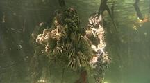 Oysters And Sponges Grow On Mangrove Roots
