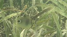 Butterflyfish In Sea Grass Bed