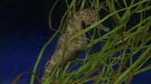 Pregnant Male Seahorse Rests Among Algae, Newborns Swim Around