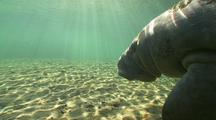Manatee Moves Across Bottom, Very Close Pass