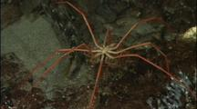 Antarctic Sea Spiders Crawls On Bottom