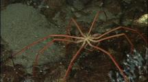 Antarctic Sea Spiders Crawl On Bottom