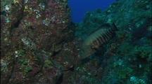 Panamic Or Pacific Graysby Swims Over Rocky Reef